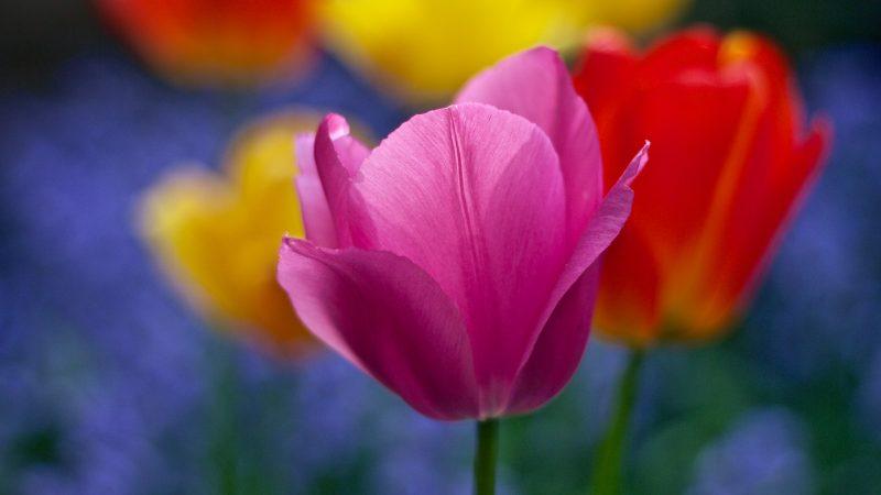 Rotary Club Kampen poot 1000 tulpen in tuinen van de Vijverhof en Amandelboom.