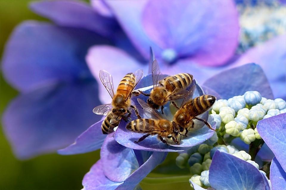 Gemeente Belang Kampen: hoop voor akkerhommel en honingbij